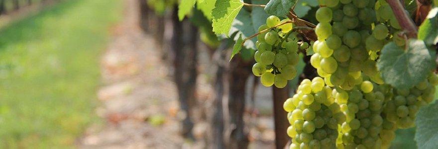 viticole